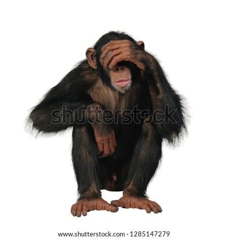 Young Chimpanzee  in front of a white background