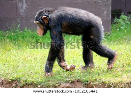 young chimpanzee running
