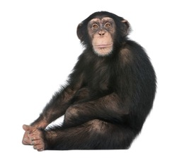 Young Chimpanzee sitting - Simia troglodytes (5 years old) in front of a white background