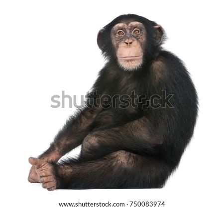 young chimpanzee sitting  ...