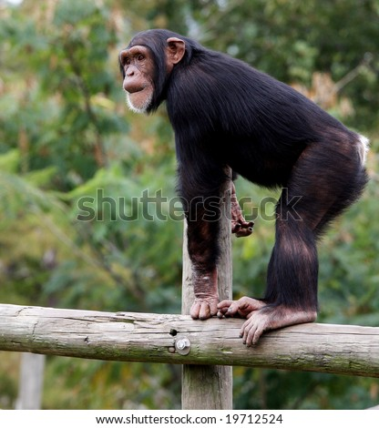 Young chimpanzee standing on pole