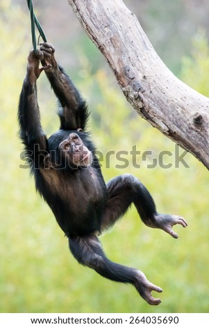 Young Chimpanzee Swinging in Tree