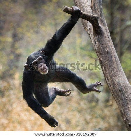 Young Chimpanzee Swinging on a Tree Branch #310192889