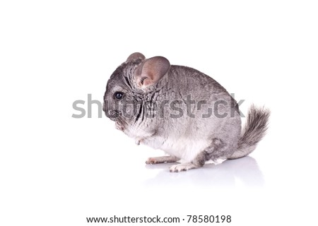 Young Chinchilla on a white background, side view