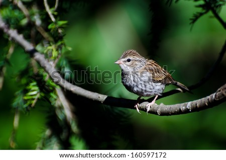 Young Chipping Sparrow Perched on a Branch