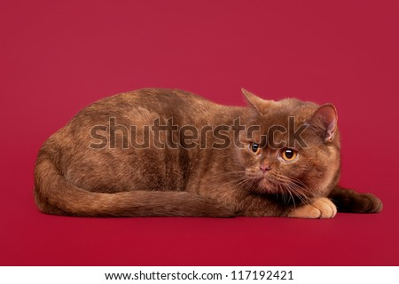 young cinnamon tortoise british kitten on dark red background - stock photo