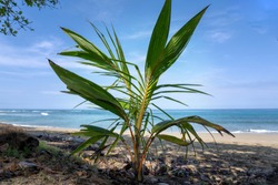 young coconut palm grows luxuriantly in the tropical beach.Blue sea background and clear sky.
