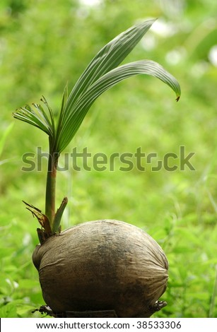 Young Coconut Tree - stock photo