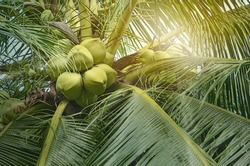 young coconuts on coconut tree,view of the top of a coconut tree