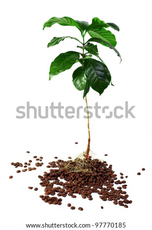 young coffee arabica plant with roots immersed in beans. isolated on white