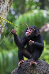 Young Common Chimpanzee sitting on a rock in the wild