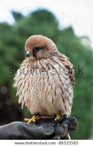 Young Common Kestrel (Falco tinnunculus) sitting on a falconer's hand