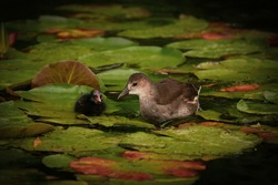 Young Common Moorhen (Gallinula chloropus), also known as theWaterhenorSwamp Chicken with chick