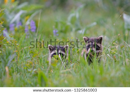 Young Common racoon #1325861003