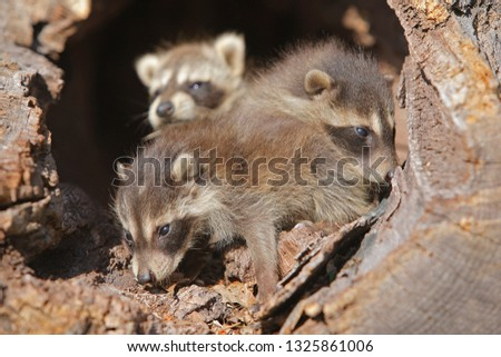 Young Common racoon #1325861006