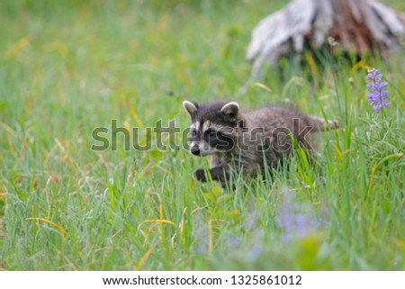 Young Common racoon #1325861012