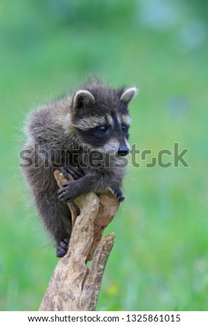 Young Common racoon #1325861015