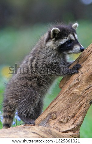 Young Common racoon #1325861021