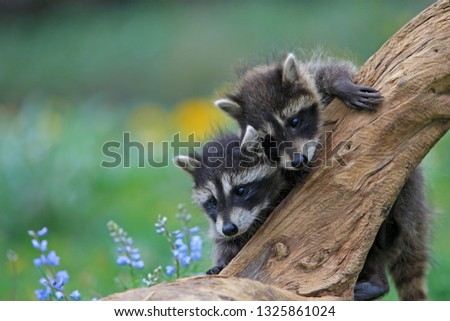 Young Common racoon #1325861024