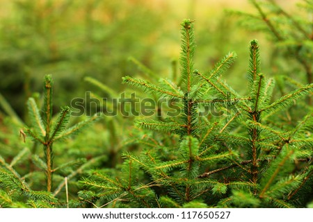 Young conifer trees with defocused background