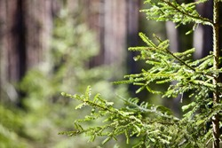 Young coniferous tree in the forest . Green Fir tree close-up. Green sapling of spruce in the spring coniferous forest. Nature reserve recovery. Reforestation in evergreen primeval woodland. New life.