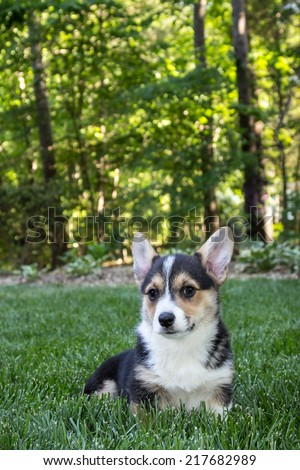 Young corgi dog sitting on lawn grass in park