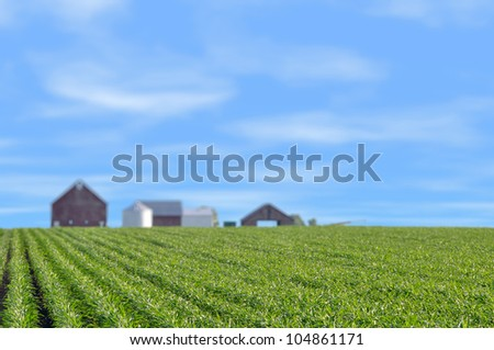 Young corn field with barn on a spring morning very shallow depth of field