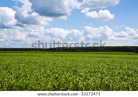 young corn on a background a clouds