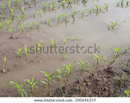 Young corn plants in a flooded field