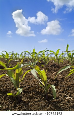young corn plants in the field and clouds