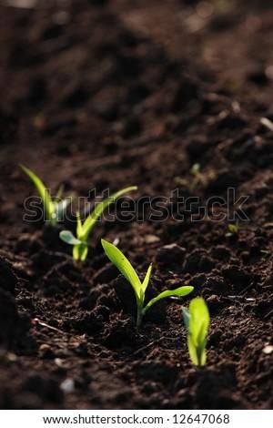 Young corn shoots