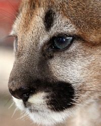 Young cougar cub face with detailed eye (mountain lion)