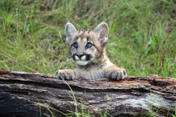 Young cougar cub playing on a log