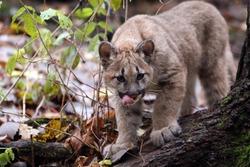 Young Cougar stalking his prey.