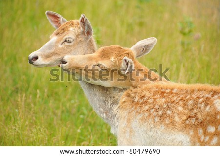 Young couple of deer. Deer are the ruminant mammals forming the family Cervidae. Species in the Cervidae family include White-tailed deer, Elk, Moose, Red Deer, Reindeer, Roe and Chital.