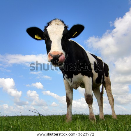 young cow against blue sky