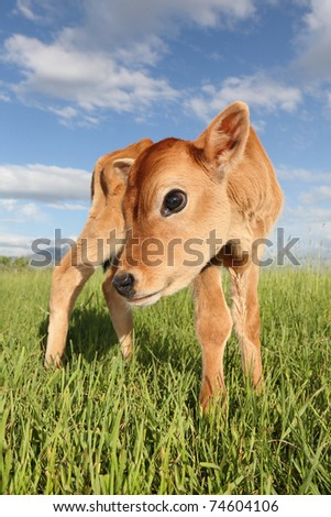 young cow calf standing in a meadow on a dairy ranch full-length