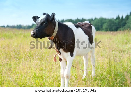 Young cow stands in the field