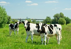 Young cows in flood plains of Rhine near Renkum in the Netherlands 16