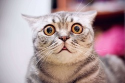 Young crazy surprised cat make big eyes closeup. American shorthair surprised cat or kitten funny face big eyes. Young cat looking surprised and scared. Emotional surprised wide big eye kitten at home