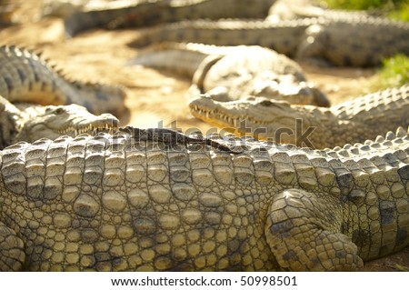 Young crocodile sitting on the back of its mother crocodile