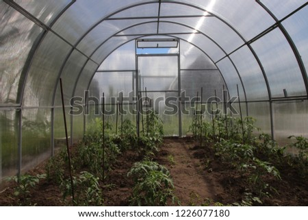 Young cultivar tomatoes growing in the modern arc polycarbonate greenhouse Сток-фото ©