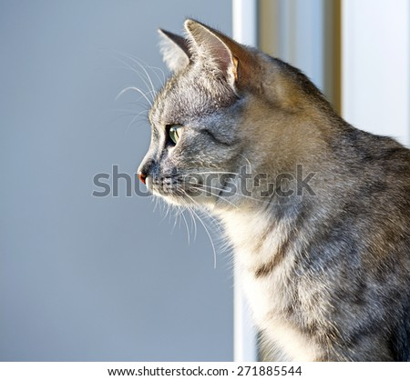 Young curious cat looking through the window on warm sunset light, cat on evening light, Cat portrait close up, only head crop, space for advertising and text, cat head