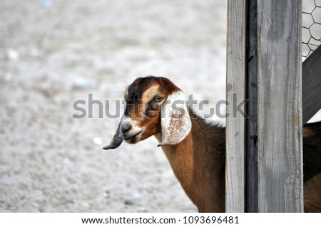 Young Curious Goat #1093696481
