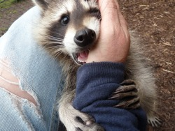 Young Cute Face And Hands Of The Cuddly Raccoon On The Human Arm. Spring Time In The Garden.