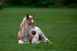 Young cute foal outdoor resting on mountain pasture in summer