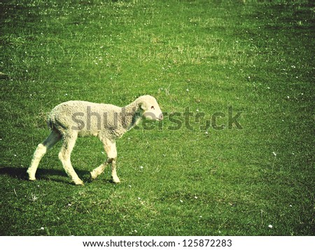 young cute lamb