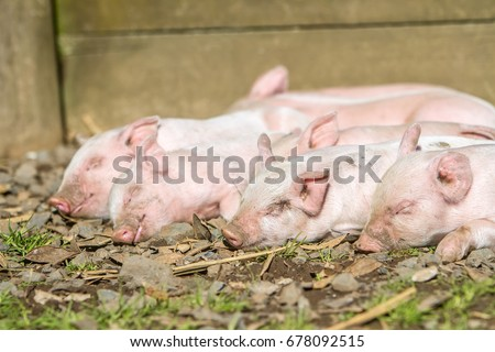 young cute piglets on farm #678092515