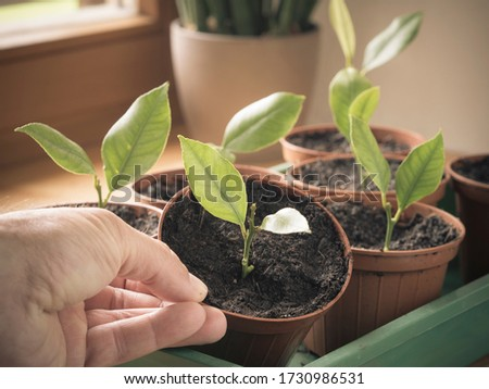 young cuttings of lemon tree growing in pot on windowsill (indoor) - hand holding potted plant on window sill in domestic room