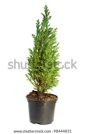 Young cypress isolated on white